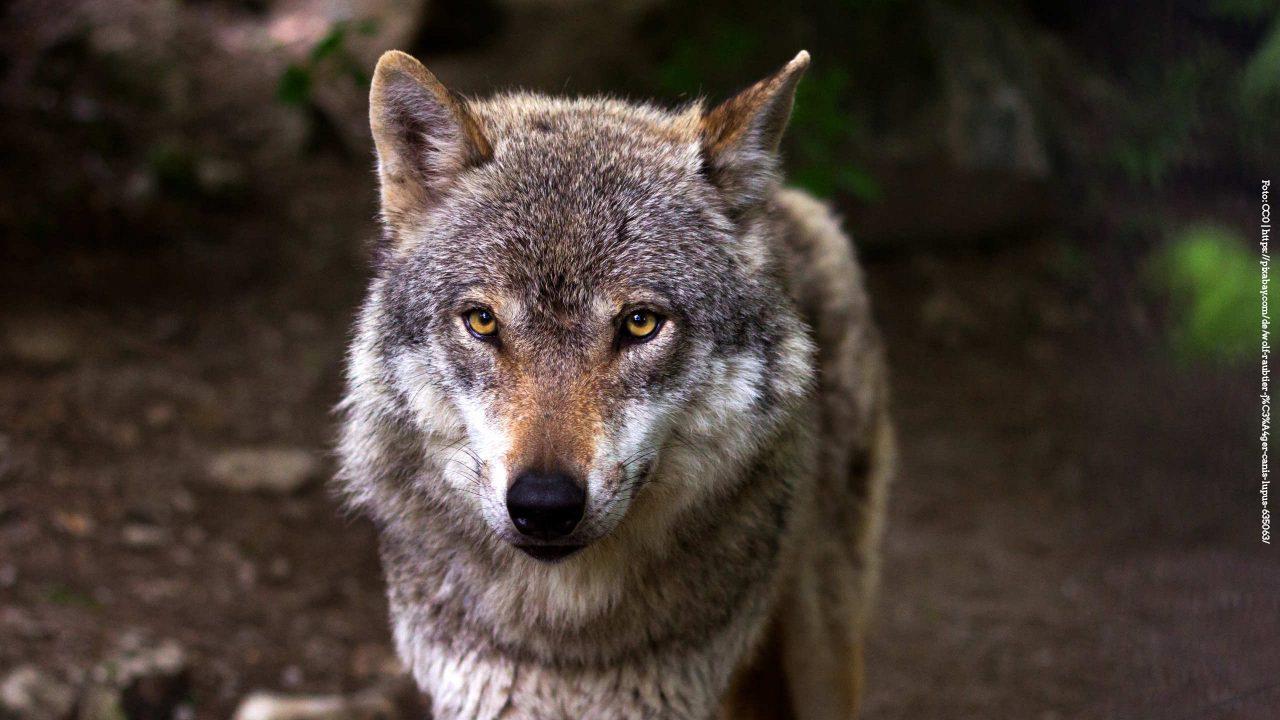 Zum Umgang mit dem Wolf