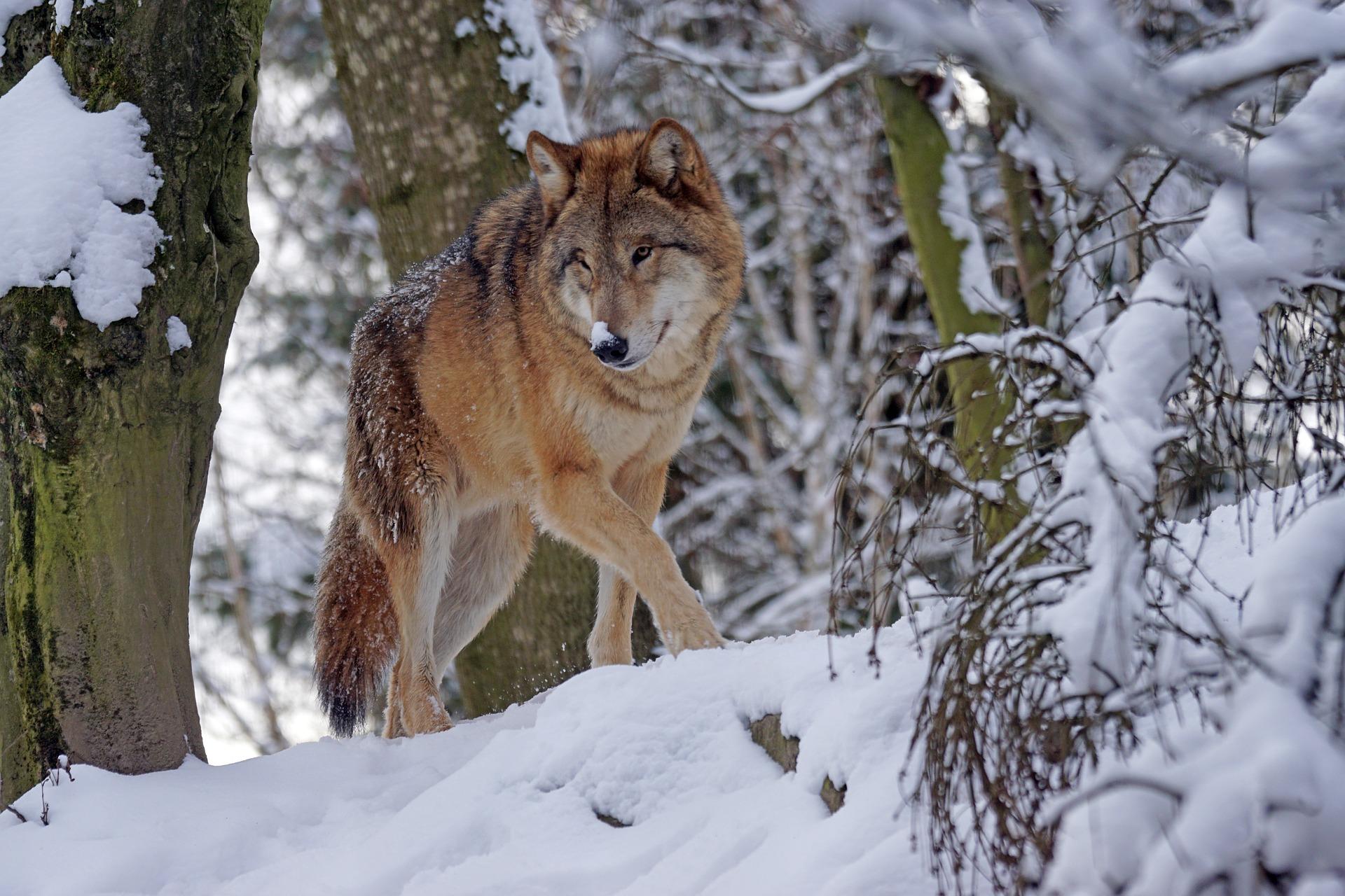 Der Wolf im Spannungsfeld zwischen Ökologie und Herdenschutz
